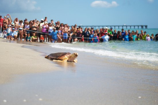 Juno Beach, FL: Sea Turtle Release