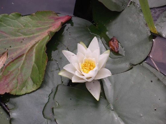 South Cliff Italian Gardens: Water Lily in the formal pond