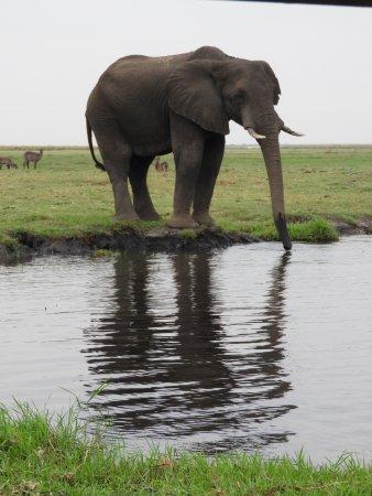 Kasane, Botswana: Elephant grazing on an island