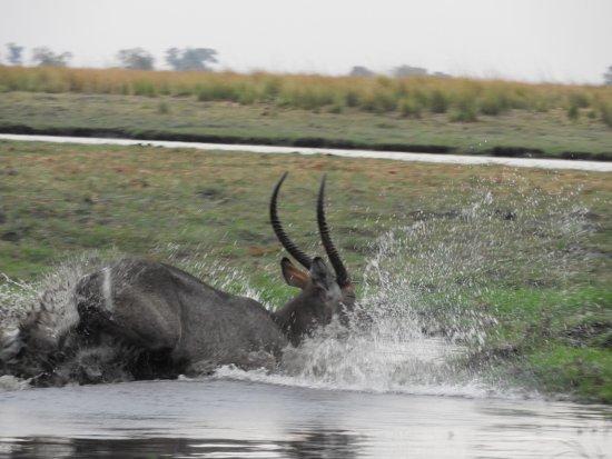 Kasane, Botswana: Leaping waterbuck