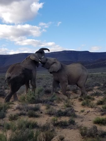 Aquila Private Game Reserve: Elephants Playing