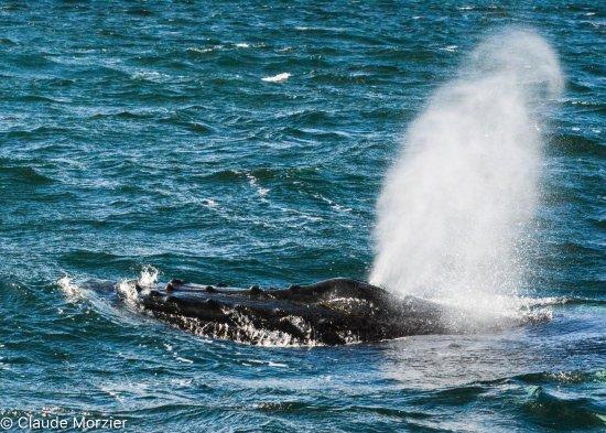 Les Escoumins, Canada: Baleine à bosse