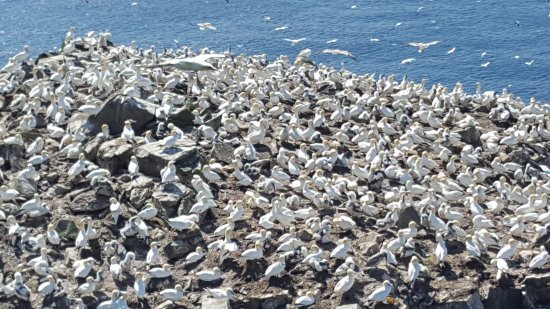 St. Bride's, Canada: A few of the nesting birds.