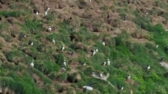 Bay Bulls, Canada: Puffin's burrows in the peat.