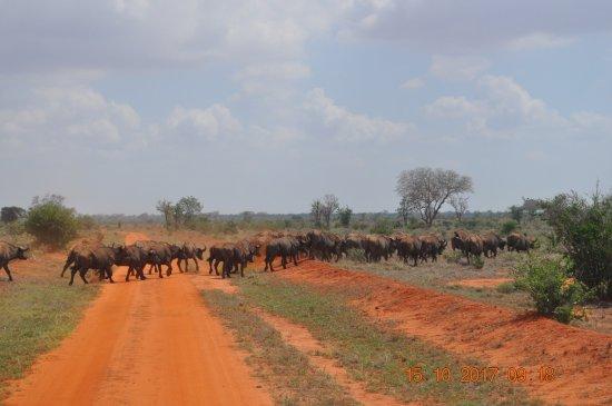 Aqua Paradise Safaris Day Tours: Büffelherde