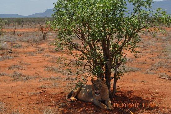 Aqua Paradise Safaris Day Tours: Löwe aus nächster Nähe