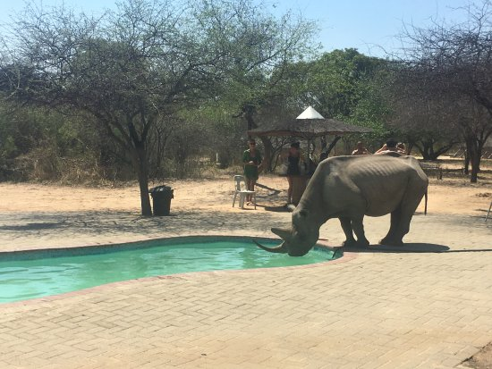 Khama Rhino Sanctuary: Black Rhino that comes to drink at the Restaurant swimming pool at about 1:30pm.