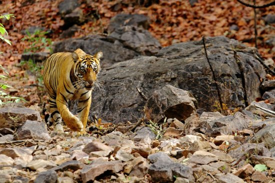 Ramnagar, Индия: Royal Bengal Tiger at Ranthambore National Park in India