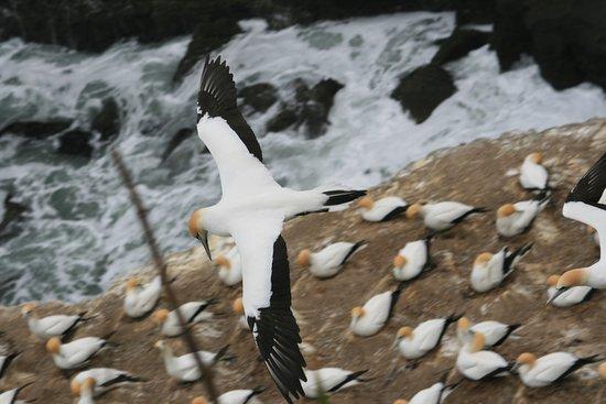 Muriwai Beach, Nieuw-Zeeland: ¿Dónde he dejado mi nido?