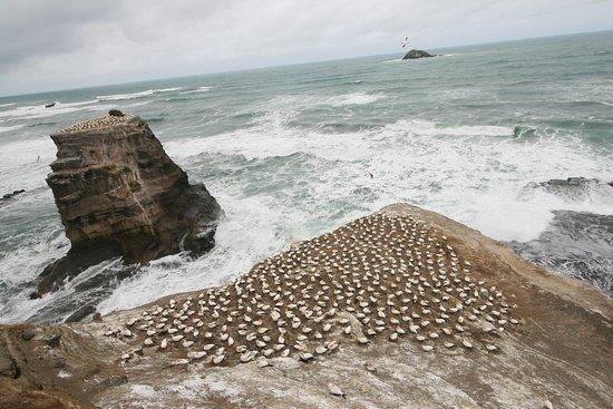 """Muriwai Beach, Nieuw-Zeeland: El olor es """"penetrante"""""""
