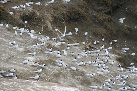 Muriwai Beach, Nieuw-Zeeland: Comparten la colonia con golondrinas de mar