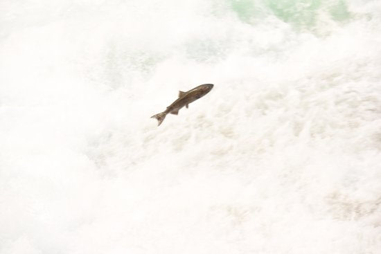 Wells Gray Provincal Park, Kanada: saumon