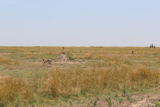 F. King Tours and Safaris - Day Tours: Geparden..