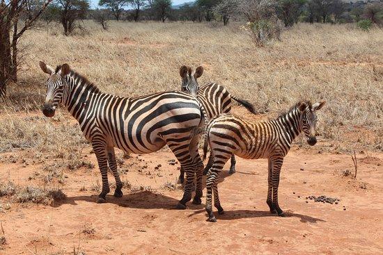F. King Tours and Safaris - Day Tours: Zebras..