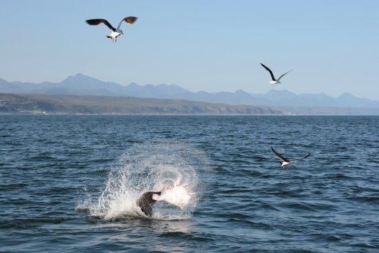 Ocean Safaris: Zeehond die een rog verorbert