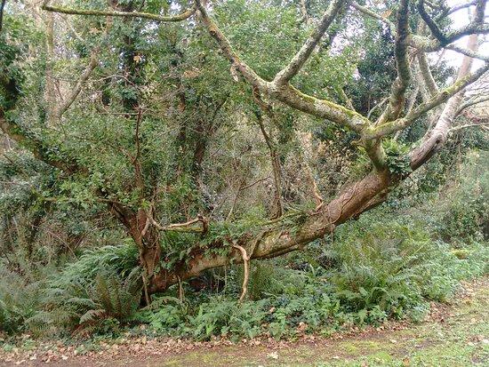 Ruan Minor, UK: ancient woodlands