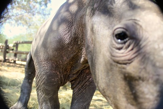 Hoedspruit Endangered Species Centre : There are a number of orphaned rhinos at HESC.