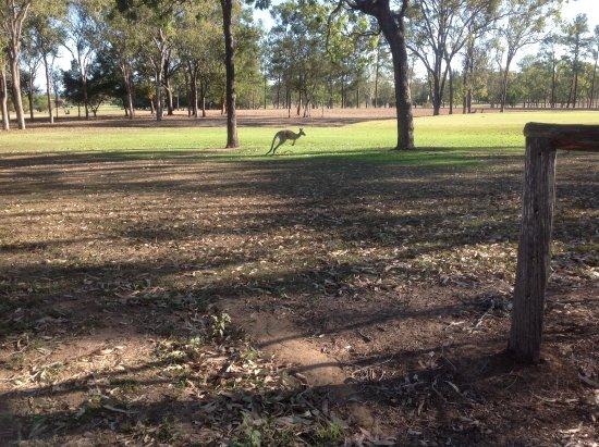 Kangaroos at home, Mareeba Oct 2017