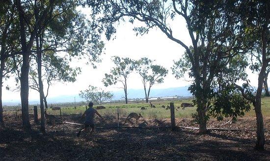 Mareeba, Austrália: The paddock next door had dozens of kangas