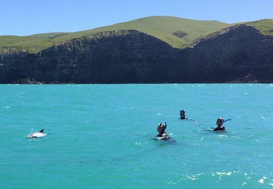 Akaroa, Yeni Zelanda: Dolphins