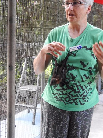 Atherton, ออสเตรเลีย: Young Spectacle Fruit Bat having some time with Jenny