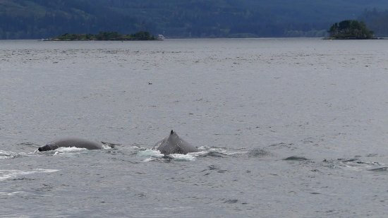 Telegraph Cove, Canada : Humpback whales feeding right beside the boat