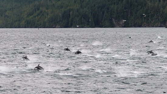Telegraph Cove, Canada : A sea of Pacific White-sided dolphins