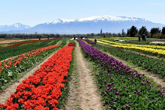 Campo de Los Tulipanes
