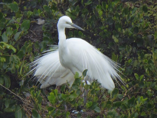 White Heron Sanctuary Tours: What a treat seeing these magnificent birds nesting