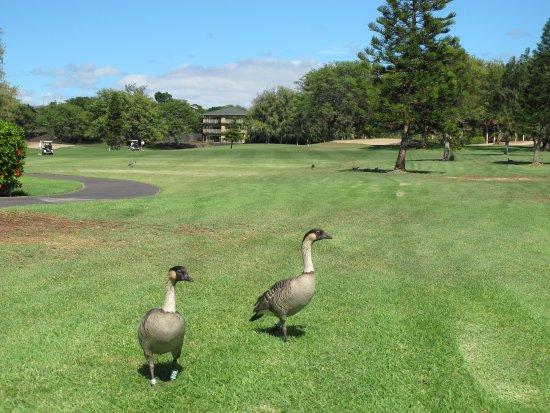 Waikoloa Village Golf Club: Waikoloa Village GC: Nene (Hawaiian Goose) on fairway