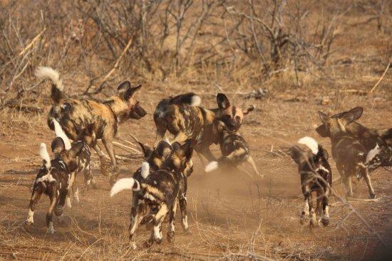 Национальный парк Крюгера, Южная Африка: Wild dog pack feeding time
