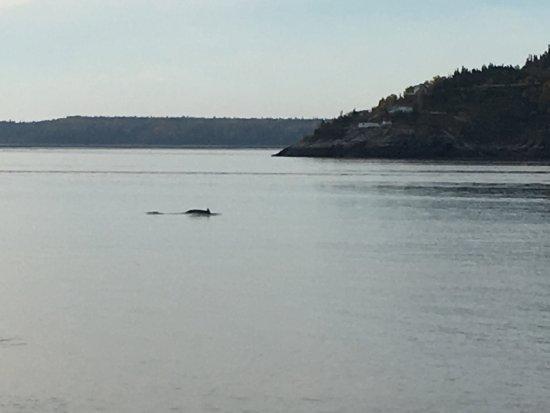 Sentier de la Pointe-de-l'Islet Trail : Baleine rorqual vue de la pointe