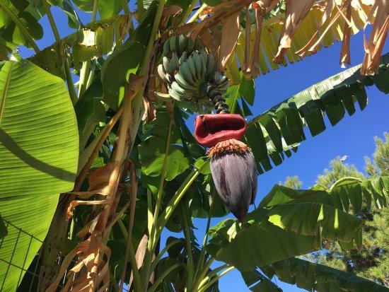 Melina Beach Hotel : Bananplanten nær vår balkong