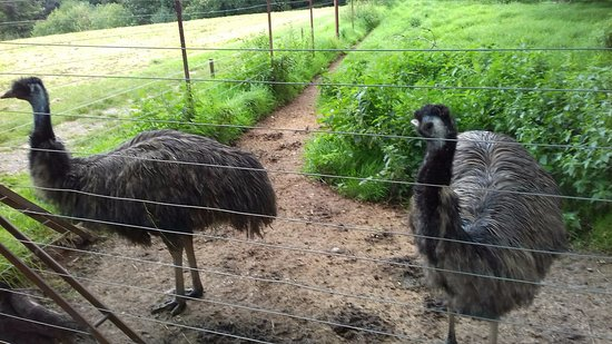 St Austell, UK: Emus