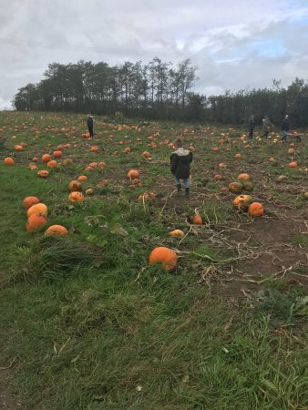 Crewe, UK: Pumpkin picking