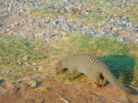Tshipise a Forever Resort: Mongoose in front of the chalet