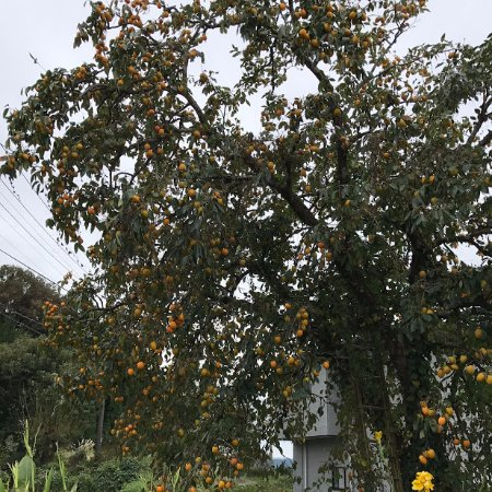 Michi-no-Eki Takeda: 道の駅の前の柿木は、鈴なりの秋