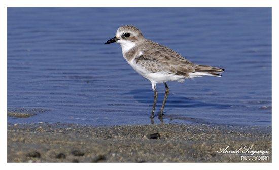 "Narara Marine National Park : ""LITTLE STINT"""