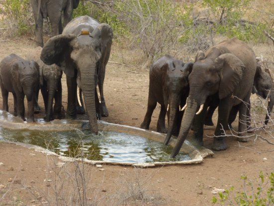 Sausage Tree Safari Camp: Group of elephants drinking and bathing at the camp's waterhole just in front of the terrace.
