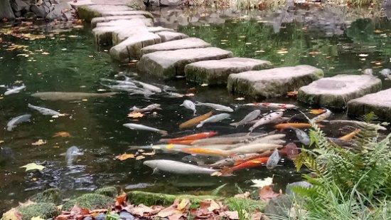 Japanischer Garten (Japanese Garden): 池の錦鯉