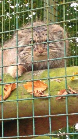 Smarden, UK: wonderful pallas cat