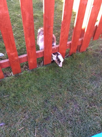 Stanley, UK: A cute baby goat happy eating the grass