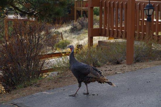 McGregor Mountain Lodge: Wild turkey