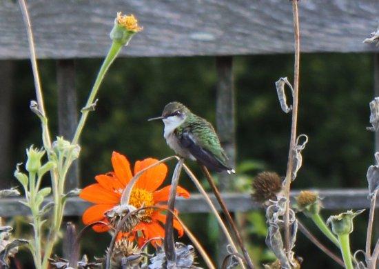 Cantigny Park: Humming Bird