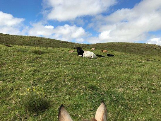 كاميولا, هاواي: A few cows, from horseback-persepective. You can see the gorgeous hills and sky.