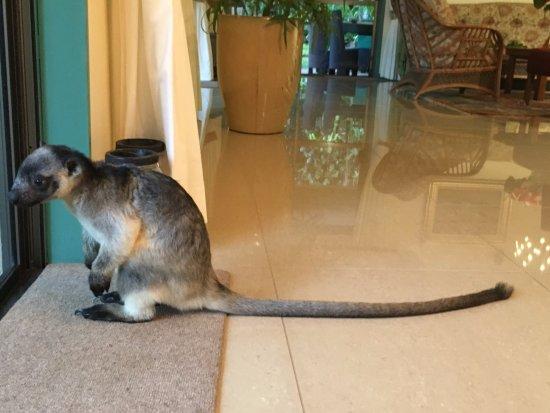 Atherton, Australia: Dobbie the friendly, playful and gorgeous tree kangaroo