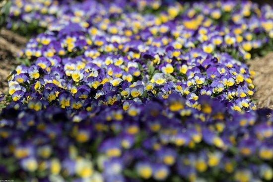 Sutton, Australia: purple patch