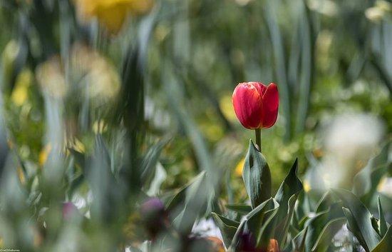 Sutton, Australia: tulip