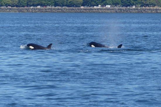 Edmonds, WA: Mom and baby orca