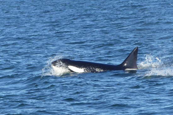 Edmonds, WA: Orca